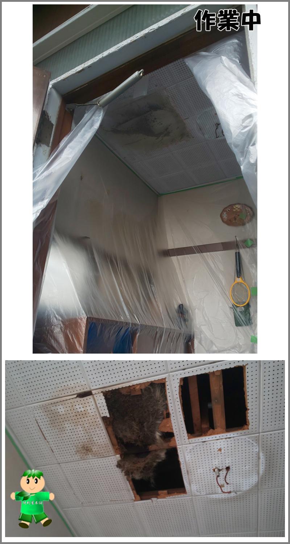 天井裏に入り込んだタヌキの死骸回収:作業中