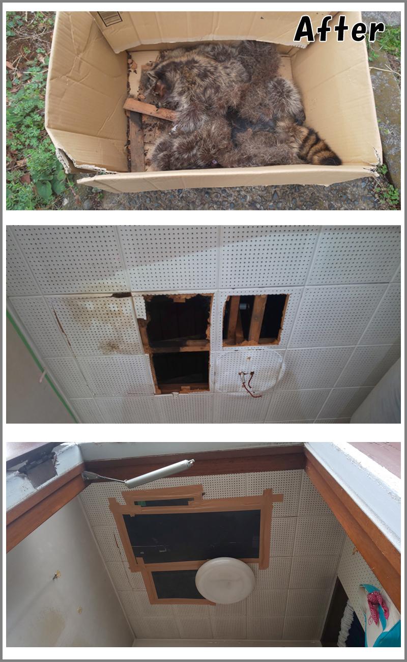 天井裏に入り込んだタヌキの死骸回収:作業終了